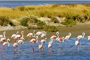 SCT_0017_flamants-rose
